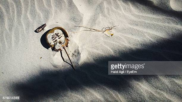 High Angle View Of Horseshoe Crab On Sand At Beach