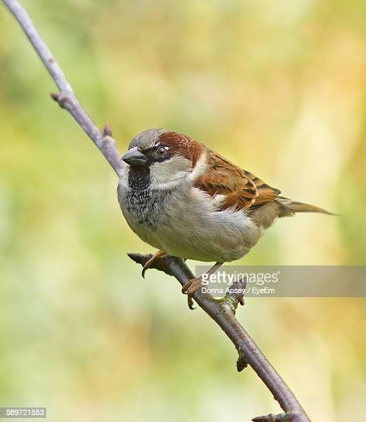 High Angle View Of House Sparrow Perching On Twig