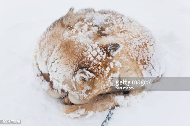 High angle view of Husky dog with snow-covered fur curled up on the ground.