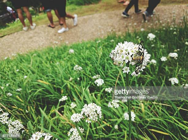 High Angle View Of Insect On White Flowers With People Walking At Park