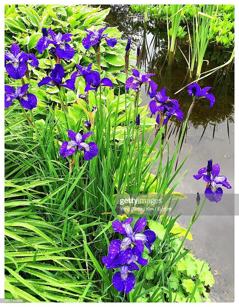 High Angle View Of Iris Flowers Blooming Outdoors Stock Photo
