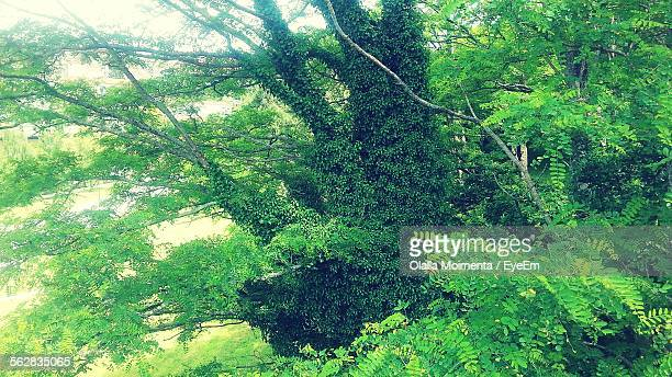 High Angle View Of Ivy Growing In Tree In Forest