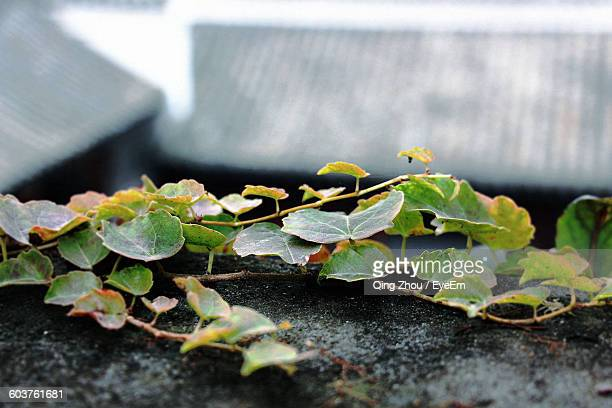 High Angle View Of Ivy Growing On Retaining Wall