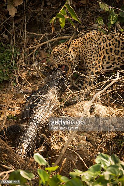 high angle view of jaguar hunting yacare caiman fighting in forest - sport involving animals stock pictures, royalty-free photos & images