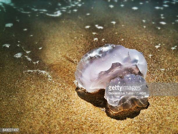 High Angle View Of Jellyfish On Beach
