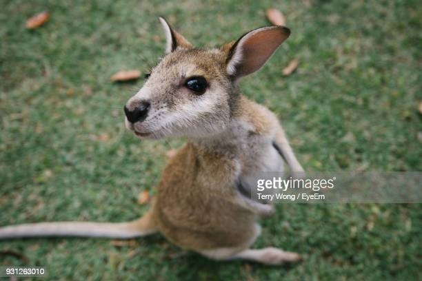 high angle view of joey on grassy field - joey wong stock pictures, royalty-free photos & images