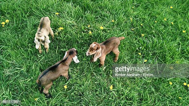 High Angle View Of Kid Goats On Field