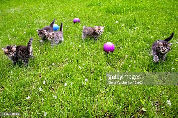 High Angle View Of Kittens And Balls On Grassy Field