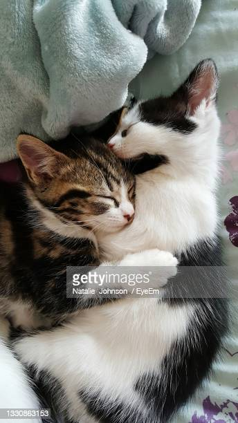 high angle view of kittens relaxing - northampton stock pictures, royalty-free photos & images