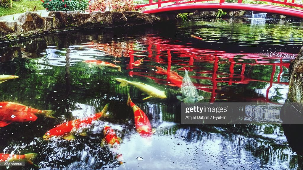 High Angle View Of Koi Carp Fish In Pond : Foto stock