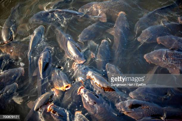 high angle view of koi carps in lake - bucheon stock pictures, royalty-free photos & images