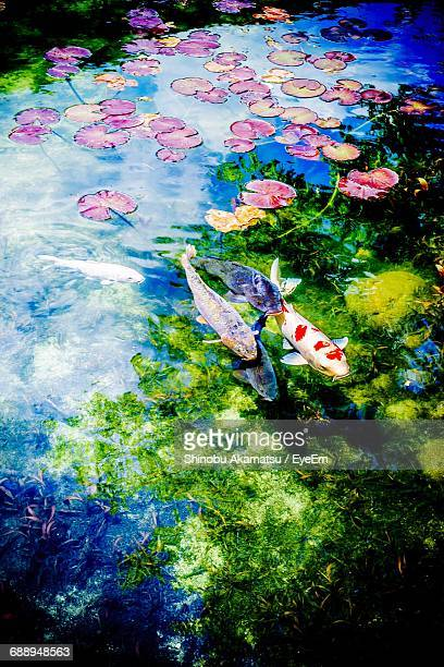 High Angle View Of Koi Carps Swimming In Calm Lake