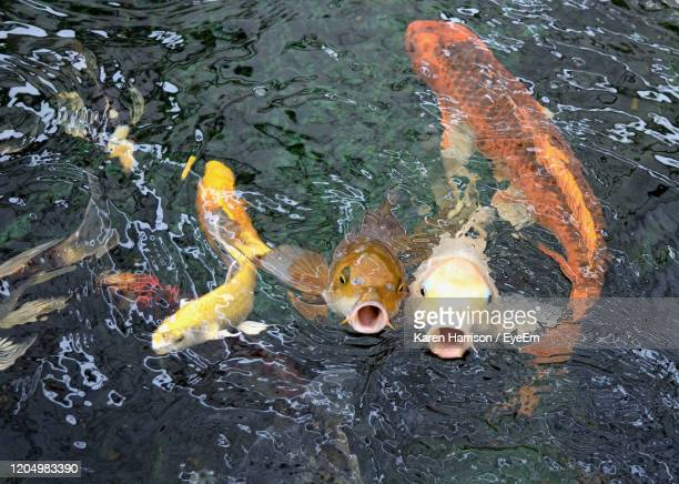 high angle view of koi carps swimming in lake - koi carp stock pictures, royalty-free photos & images