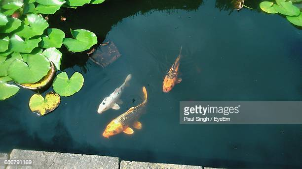 high angle view of koi carps swimming in pond - koi carp stock pictures, royalty-free photos & images