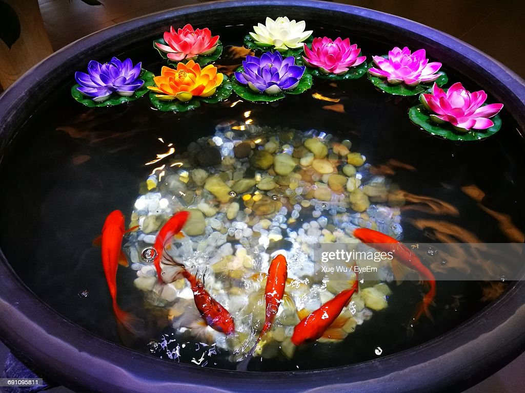 High Angle View Of Koi Fish Swimming By Lily Flowers In Water Stock