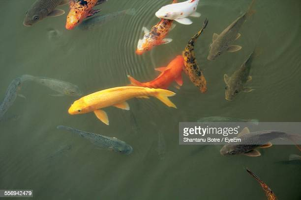 High Angle View Of Koi Fishes Swimming In Pond
