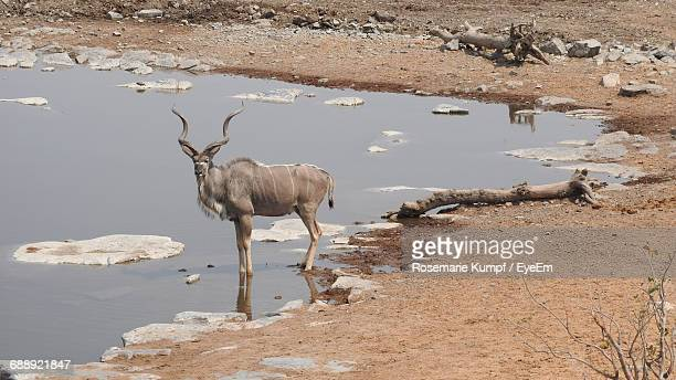 High Angle View Of Kudu Standing In Water At Etosha National Park
