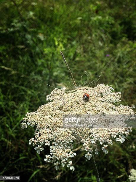 High Angle View Of Ladybug On Queen Annes Lace Blooming In Outdoors