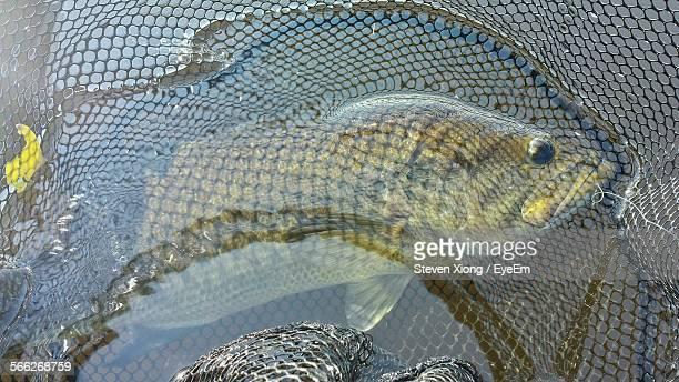 high angle view of largemouth bass in net - largemouth bass stock pictures, royalty-free photos & images