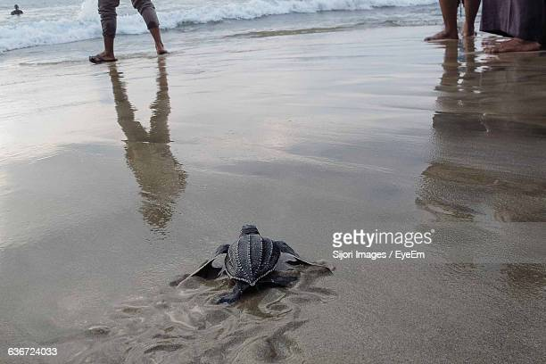 high angle view of leatherback turtle at beach - leatherback turtle stock pictures, royalty-free photos & images