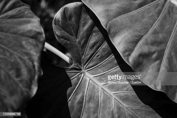 high angle view of leaves with veines of monstera plant - manacor stock pictures, royalty-free photos & images