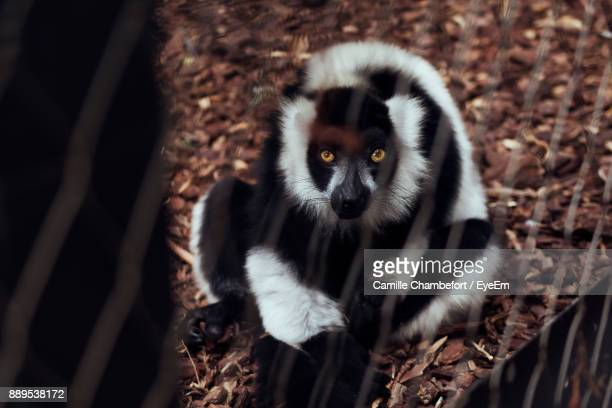 High Angle View Of Lemur In Cage At Zoo