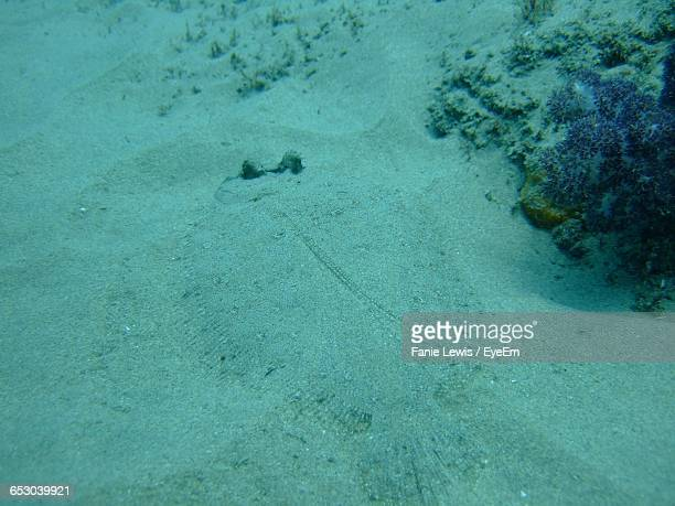 High Angle View Of Leopard Flounder Hiding In Sand