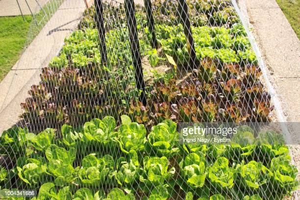 High Angle View Of Lettuces Growing On Field