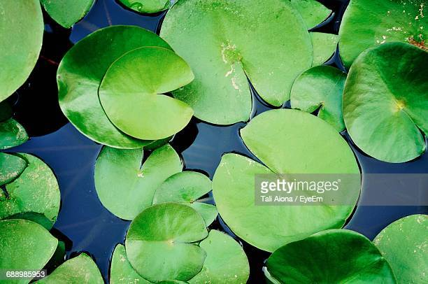 high angle view of lily pads in pond - ninfea foto e immagini stock