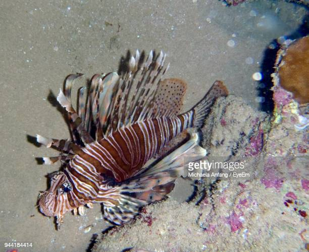 high angle view of lionfish swimming in sea - anfang stock pictures, royalty-free photos & images