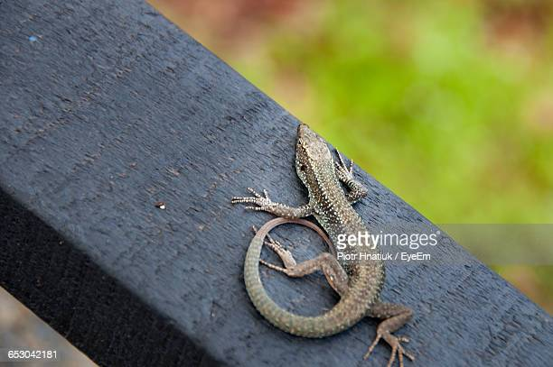 high angle view of lizard on railing - piotr hnatiuk ストックフォトと画像