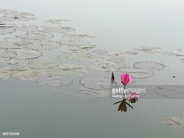 High Angle View Of Lotus Growing On Lake
