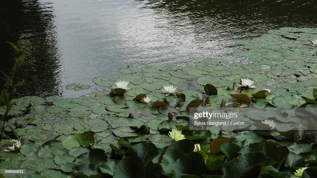 High Angle View Of Lotus Water Lilies In Lake : Stock Photo