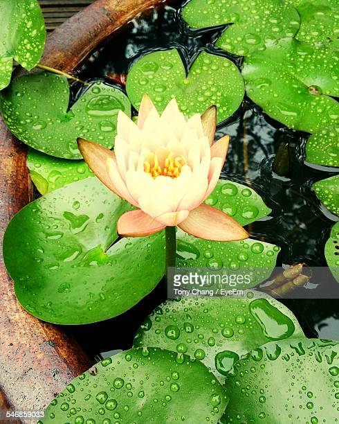 High Angle View Of Lotus Water Lily And Leaves Floating On Pond