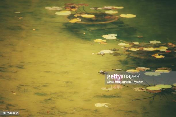 High Angle View Of Lotus Water Lily Blooming In Lake