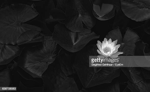 High Angle View Of Lotus Water Lily Blooming In Pond