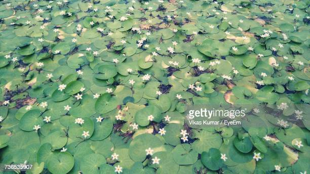 High Angle View Of Lotus Water Lily