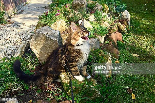 High Angle View Of Maine Coon On Stone