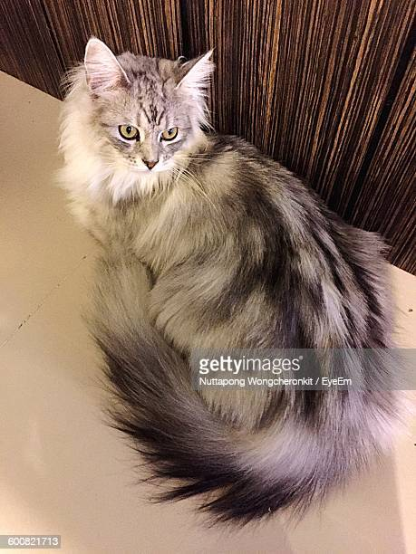 High Angle View Of Maine Coon Sitting On Floor At Home