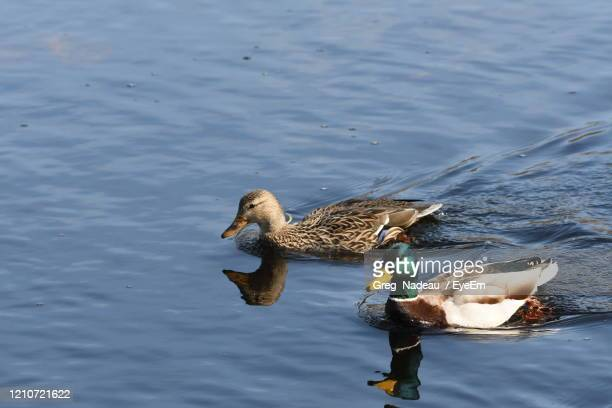 high angle view of mallard duck swimming in lake - greg nadeau stock pictures, royalty-free photos & images