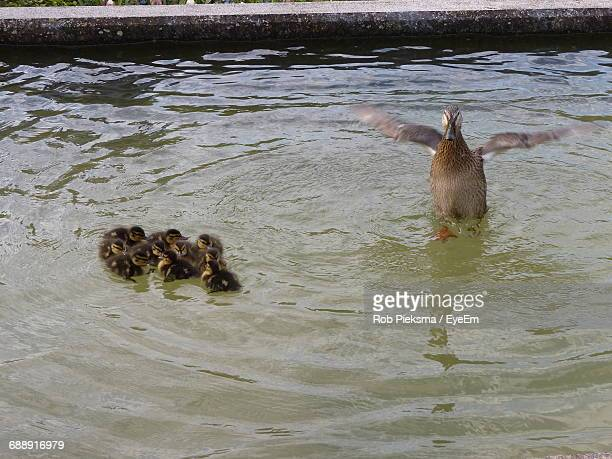 High Angle View Of Mallard Duck With Ducklings Swimming In Pond