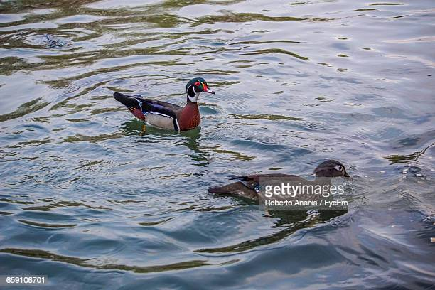 High Angle View Of Mandarin Ducks Swimming On Lake