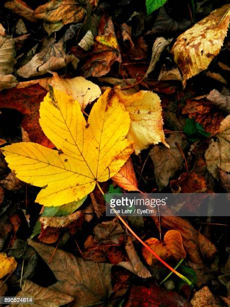 High Angle View Of Maple Leaf Fallen On Leaves