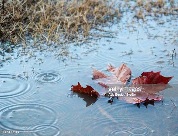 High Angle View Of Maple Leaf In Water During Rainy Season