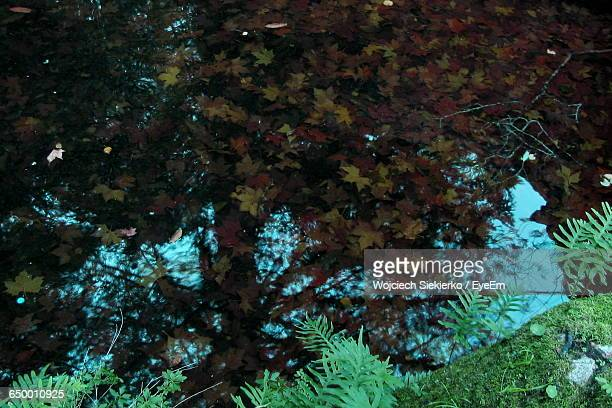 High Angle View Of Maple Leaves In Calm Lake During Autumn