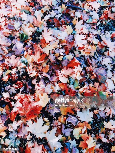 High Angle View Of Maple Leaves On Field During Autumn