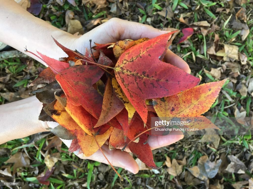 High Angle View Of Maple Leaves On Field : Photo
