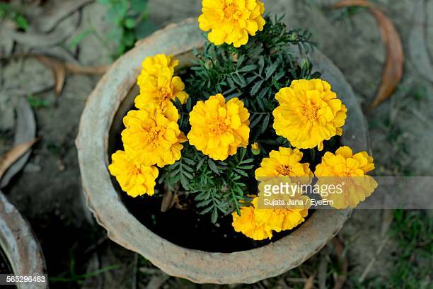 High Angle View Of Marigold Flowers In Pot