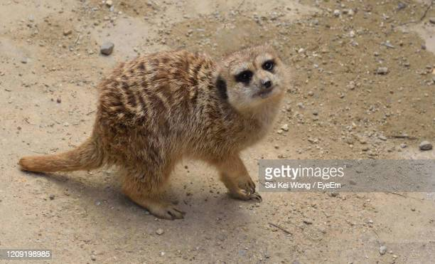 high angle view of meerkat on land - meerkat stock pictures, royalty-free photos & images