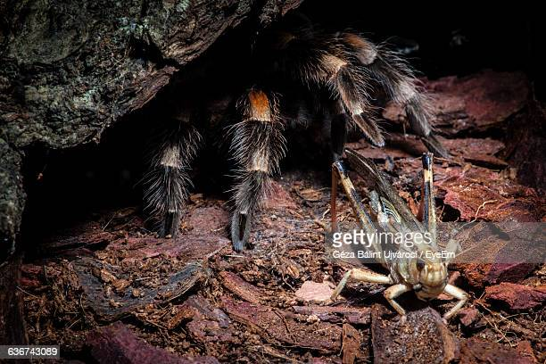 High Angle View Of Mexican Redknee Tarantula By Insect On Field